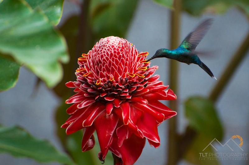 Hummingbird on a Waxy Torch Ginger flower, Costa Rica. Please Follow Me! https://tlt-photography.smugmug.com/