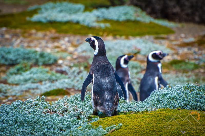 Magellanic Penguins at Otway Sound penguin colony, Chile. Please Follow Me! https://tlt-photography.smugmug.com/