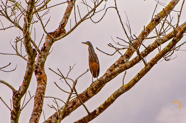 Bare-Throated Tiger Heron in a tree on our way to the Rio Frio, Costa Rica. Please Follow Me! https://tlt-photography.smugmug.com/