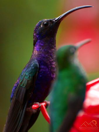 A male Violet Sabrewing at the Monteverde Hummingbird Garden, Costa Rica. Please Follow Me! https://tlt-photography.smugmug.com/