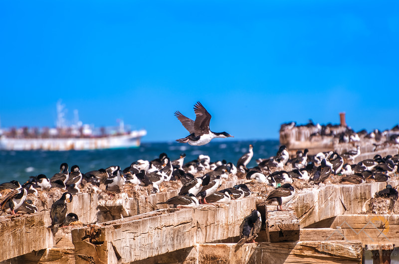 A pier full of Imperial Shags which is a type of cormorant from the Antarctic, Chile. Please Follow Me! https://tlt-photography.smugmug.com/