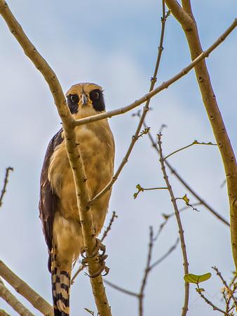A Laughing Falcon on our way to the Rio Frio, Costa Rica. Please Follow Me! https://tlt-photography.smugmug.com/