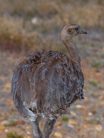 A Nandu, or Lesser Rhea, which clearly resembles an ostrich, Argentina. Please Follow Me! https://tlt-photography.smugmug.com/
