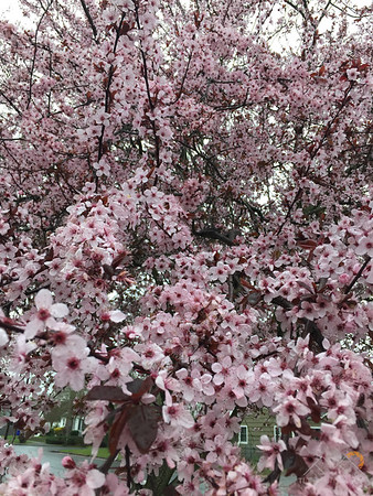 Beautiful cherry bushes in bloom in Portland.  www.tlt.photography Please Follow Me! https://tlt-photography.smugmug.com/