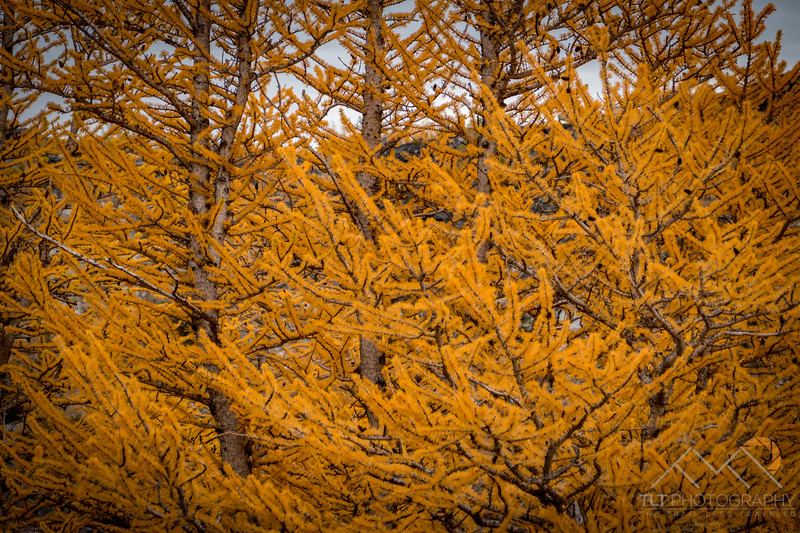 The golden larches of the Enchantments, Washington. Please Follow Me! https://tlt-photography.smugmug.com/