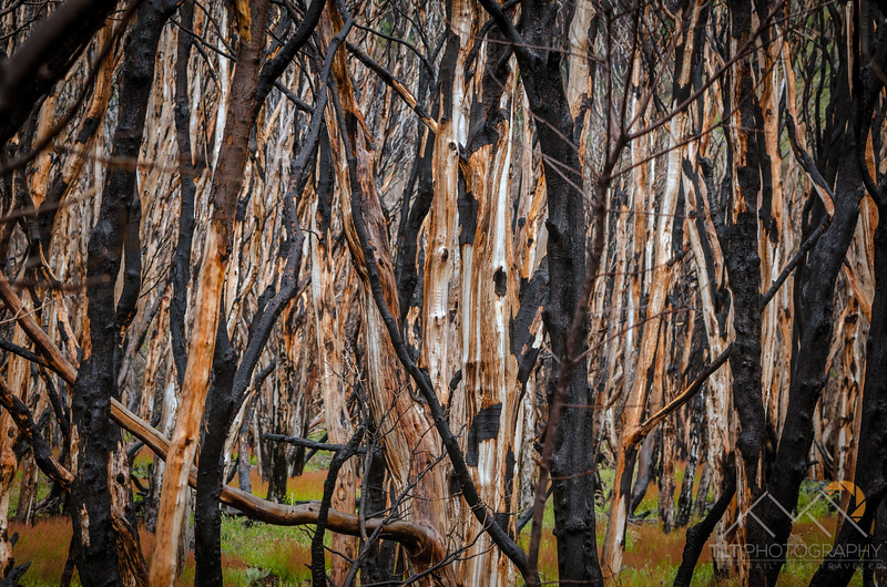 Burned trees from a 2012 fire started accidentally by a tourist burning toilet paper, Torres del Paine, Chile. Please Follow Me! https://tlt-photography.smugmug.com/