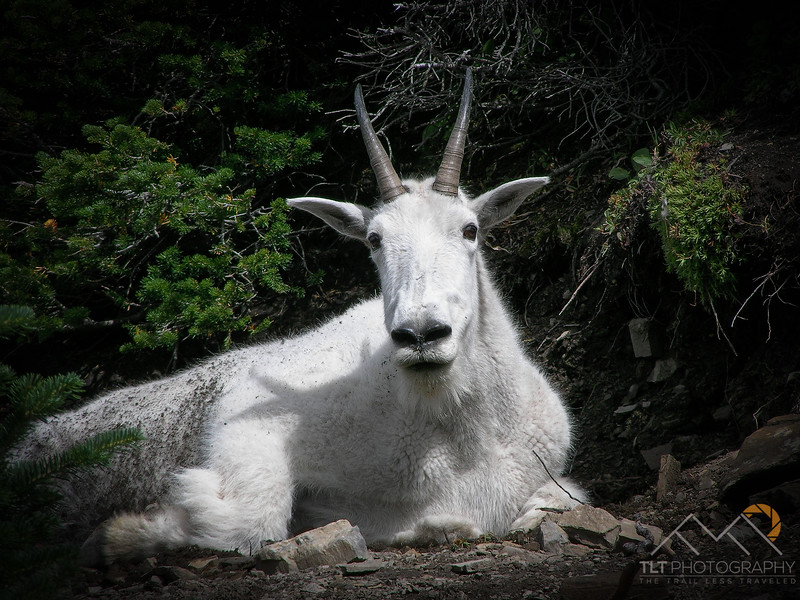 A mountain goat blocking our way along the Highline Trail in Glacier National Park. Please Follow Me! https://tlt-photography.smugmug.com/