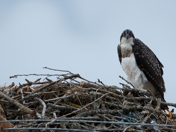 Osprey on Sauvie Island, Oregon Please Follow Me! https://tlt-photography.smugmug.com/