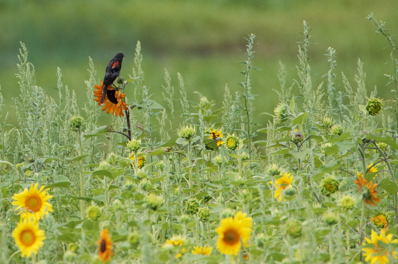 Red-winged blackbird and sunflowers on Sauvie Island, Oregon. Please Follow Me! https://tlt-photography.smugmug.com/
