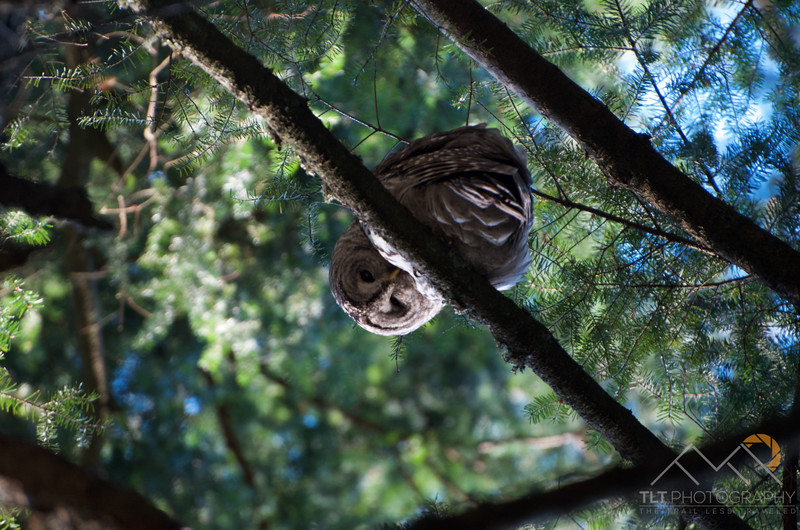 A Bard Owl on our hike of Lummi Island in the San Juan Islands of Washington. Please Follow Me! https://tlt-photography.smugmug.com/