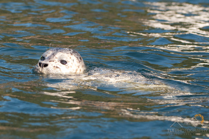 A curious harbor seal pup that came up to give Emily and I a close up hello while sea kayaking the San Juan Islands of Washington. Please Follow Me! https://tlt-photography.smugmug.com/