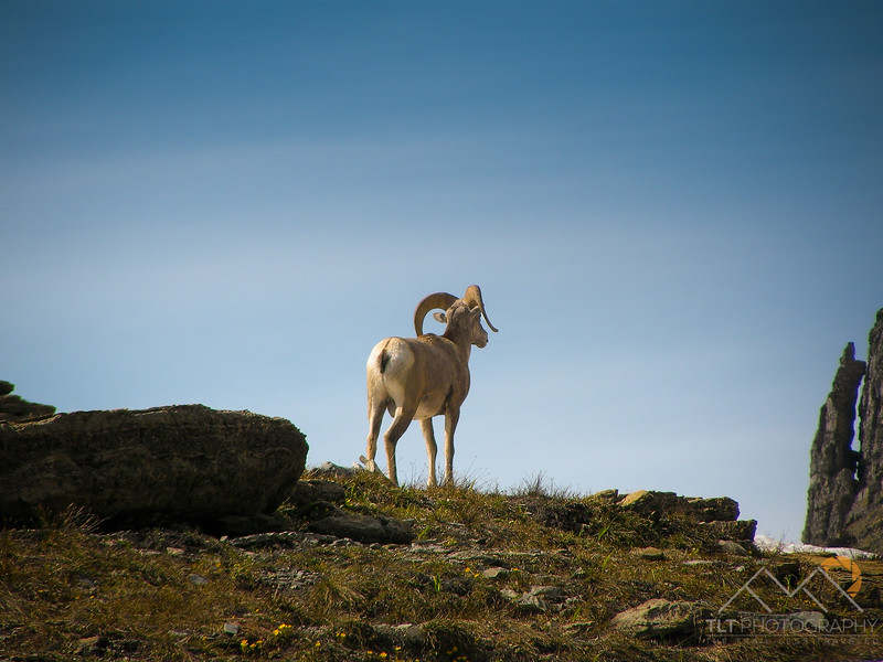 A bighorn sheep looking into the distance from the Highline Trail in Glacier National Park, Montana. Please Follow Me! https://tlt-photography.smugmug.com/