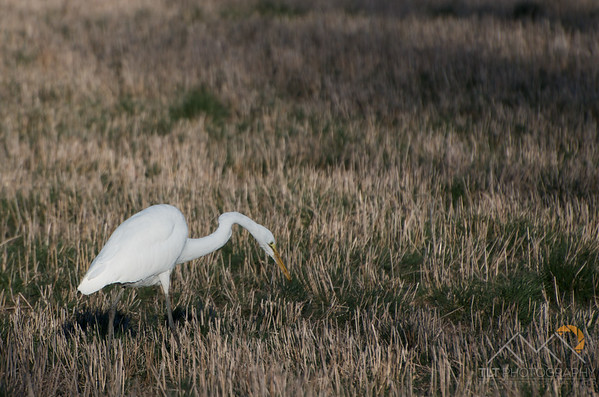 An egret in a field on Sauvie Island. Please Follow Me! https://tlt-photography.smugmug.com/