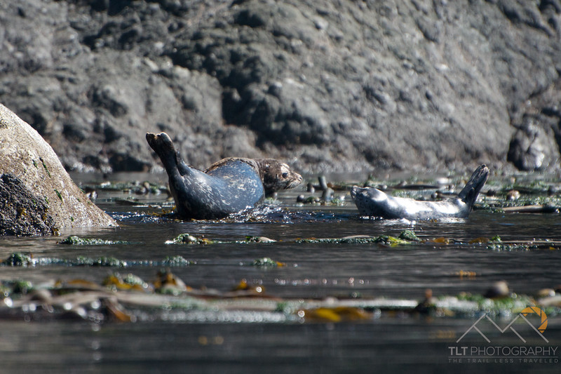 A molting harbor seal and pup on the rocks off the west side of San Juan Island, Washington. Please Follow Me! https://tlt-photography.smugmug.com/