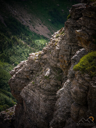 A lone goat perched precariously on a cliff along the Highline Trail of Glacier National Park, Montana. Please Follow Me! https://tlt-photography.smugmug.com/