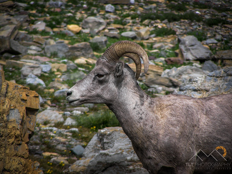 Bighorn sheep on the Highline Trail on the shoulder of Haystack Butte. Please Follow Me! https://tlt-photography.smugmug.com/