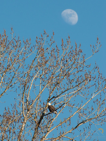 Eagle with the moon on Sauvie Island. Please Follow Me! https://tlt-photography.smugmug.com/