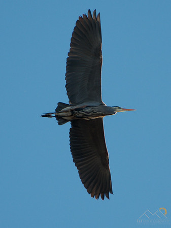 A great blue heron flying over sauvie Island. Please Follow Me! https://tlt-photography.smugmug.com/