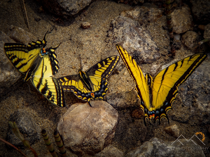 Swallowtails along the Salmon River in Idaho. Please Follow Me! https://tlt-photography.smugmug.com/