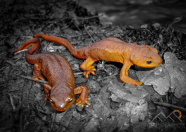 Rough Skinned Newts