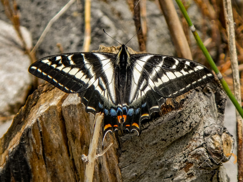 Swallowtail along the Salmon River in Idaho. Please Follow Me! https://tlt-photography.smugmug.com/