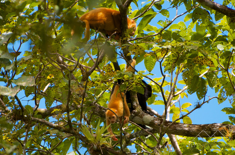 Incredibly rare albino Howler Monkey babies in a tree above the Rio Frio (Cold River) on our Cano Negro Reserve boat tour, Costa Rica. Please Follow Me! https://tlt-photography.smugmug.com/