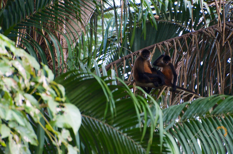 Spider Monkeys in the trees above the Rio Frio on our Cano Negro boat tour, Costa Rica. Please Follow Me! https://tlt-photography.smugmug.com/