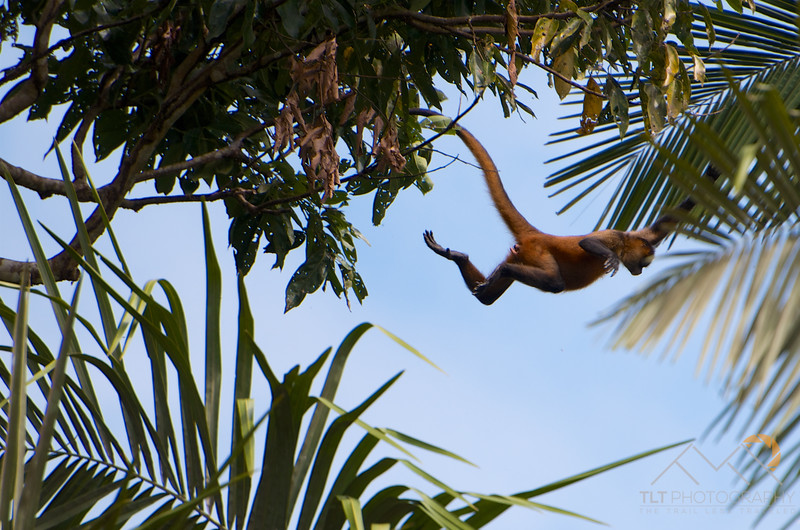 Spider-Man Monkey Jump, Costa Rica. Please Follow Me! https://tlt-photography.smugmug.com/