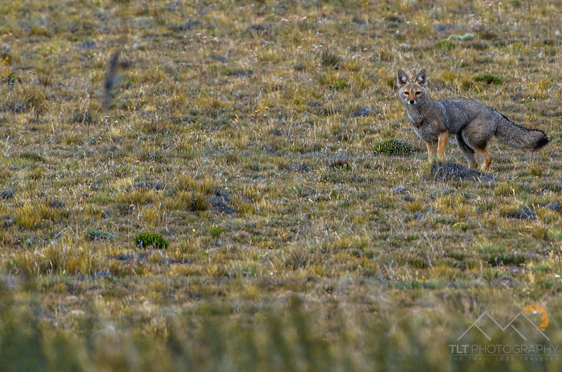 Andean Fuegian Fox, Zorro Rojo, on the side of the road on the drive back to Chile.