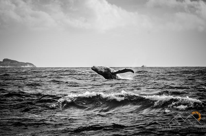 Humpback off Kauai