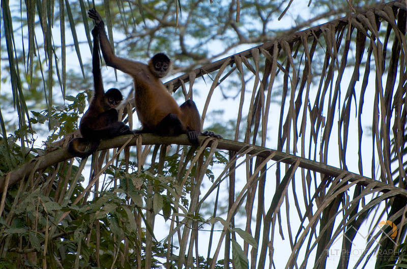 Spider Monkeys in the trees above the Rio Frio on our Cano Negro boat tour, Costa Rica.  Almost looks like they are waving to us... Please Follow Me! https://tlt-photography.smugmug.com/