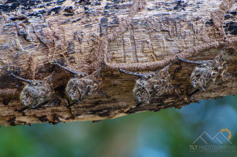 Tiny little Long-nosed Bats clinging to a branch over the Rio Frio on our Cano Negro boat tour, Costa Rica. Please Follow Me! https://tlt-photography.smugmug.com/