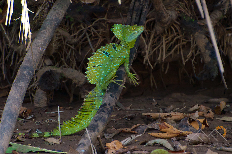 An Emerald Basilisk on our Cano Negro boat tour, Costa Rica. Please Follow Me! https://tlt-photography.smugmug.com/