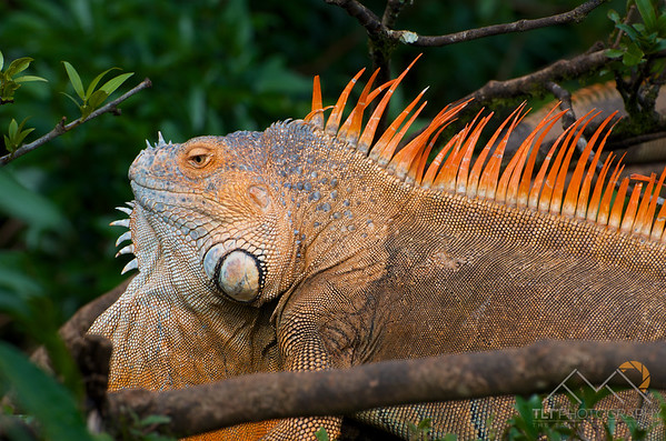 """A male iguana in a tree over a river next to the """"Iguana Cafe"""" in Alajuela on our way to Cano Negro, Costa Rica. Please Follow Me! https://tlt-photography.smugmug.com/"""