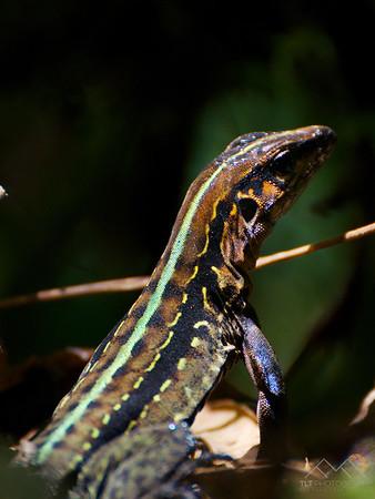 Closeup of a Central American Whiptail, Costa Rica. Please Follow Me! https://tlt-photography.smugmug.com/