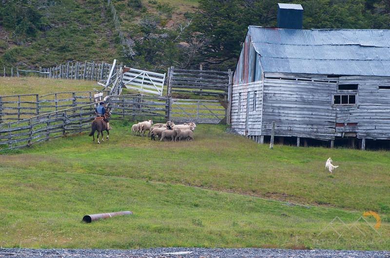Sheep dog and Rancher herding tomorrows dinner into the barn, Chile. Please Follow Me! https://tlt-photography.smugmug.com/