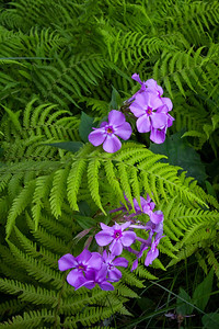 Phlox and Ferns