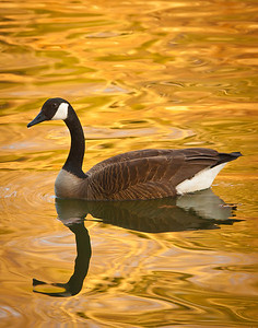 Canada Goose On Golden Pond Warriors Path State Park, Kingsport, TN