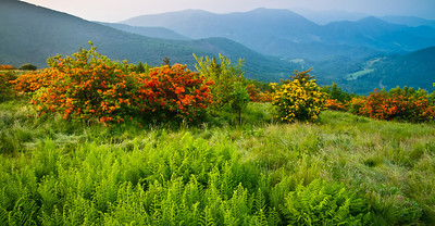 Flame Azaleas on Jane Bald