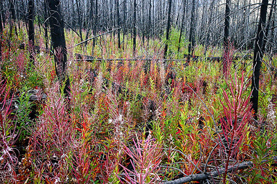 Fireweed and Kootenay Fire Kootenary National Park