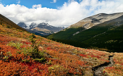 Wildflowers on Wilcox Pass, Icefields Parkway Jasper National Park