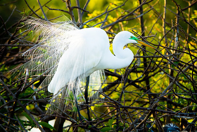 Great White Egret Mating Plumage and Colors
