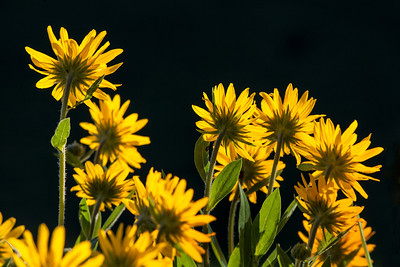 Bunch of Mule Ears