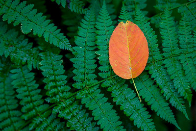 Leaf on Fern