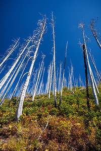 Silent Sentinels Trees burned by the Robert Fire of 2003. At one point the fire was so intense that flames reached a height of 500 feet.  2003 marked the fifth year of a five-year drought, and became one of the worst fire seasons in Glacier National Park history. That summer more than 136,000 acres burned in Glacier. That's 13% of the park!