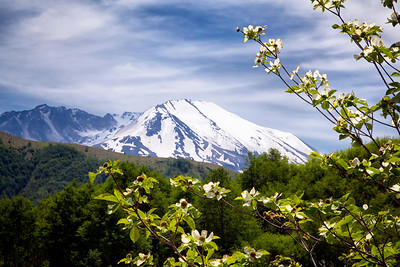 Pacific Dogwood and The Mountain