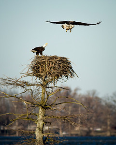 Bald Eagles on Reelfoot Lake