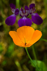 California Poppy and Chinese Houses