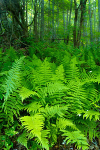 Fern Forest I love ferns growing thick on the forest floor.