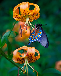 Turk's Cap Lily and Butterfly